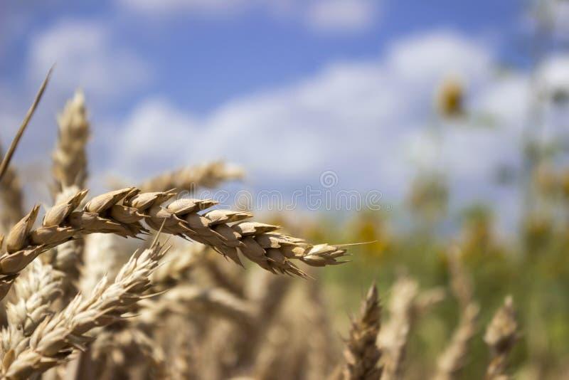 Moget vetefält mot en blå himmel, solig sommardag piggar royaltyfri fotografi