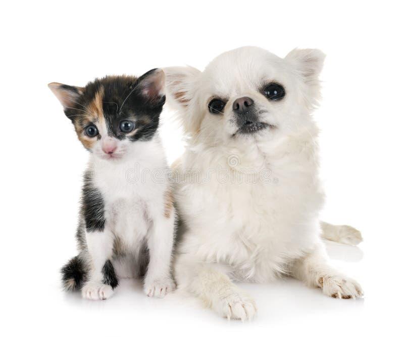 Moggy小猫和奇瓦瓦狗 免版税库存图片