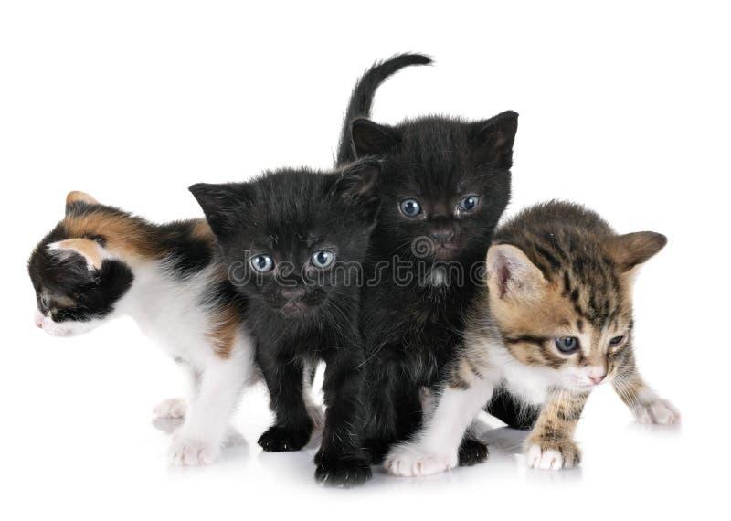 Moggy小猫在演播室 库存图片