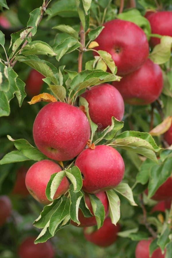 mogna äpplen arkivbilder
