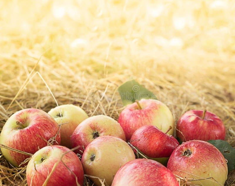 mogna äpplen royaltyfri fotografi