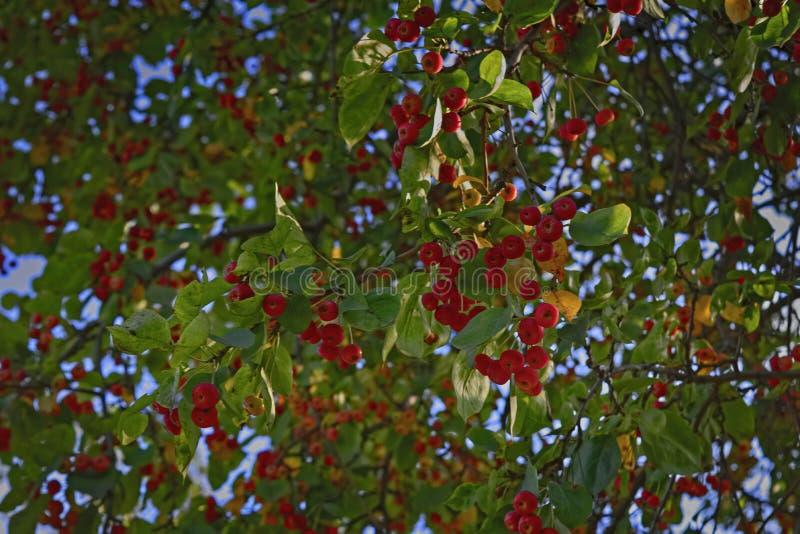 Mogna äpplen på en trädfilial mot blå himmel arkivbilder