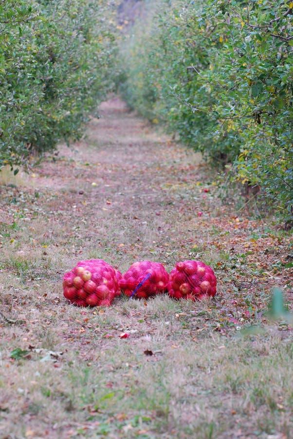 Mogna äpplen som är samlat klart för transporterat i en lätthet för industriell produktion Livsmedelsindustri royaltyfri fotografi