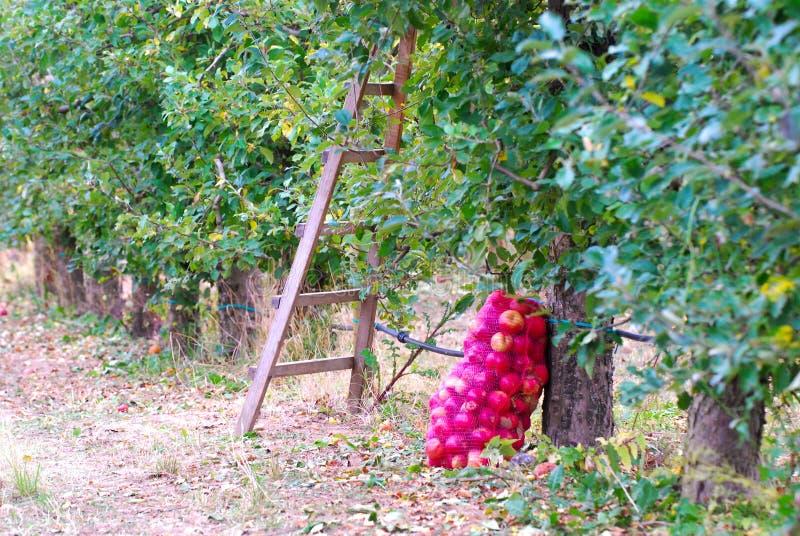 Mogna äpplen som är samlat klart för transporterat i en lätthet för industriell produktion Livsmedelsindustri royaltyfria bilder