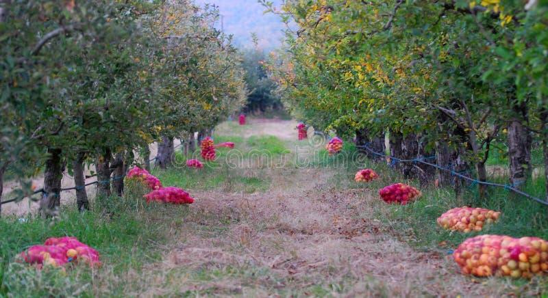 Mogna äpplen som är samlat klart för transporterat i en lätthet för industriell produktion Livsmedelsindustri royaltyfria foton