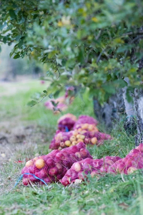 Mogna äpplen som är samlat klart för transporterat i en lätthet för industriell produktion Livsmedelsindustri arkivfoton
