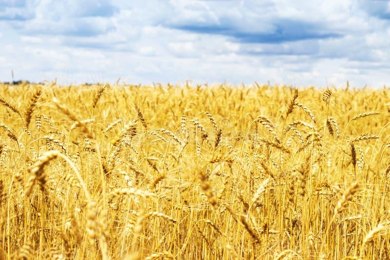 Mogna öron av det gula guld- vetefältet med blå himmel och moln, sommarskörd, lantlig äng fotografering för bildbyråer