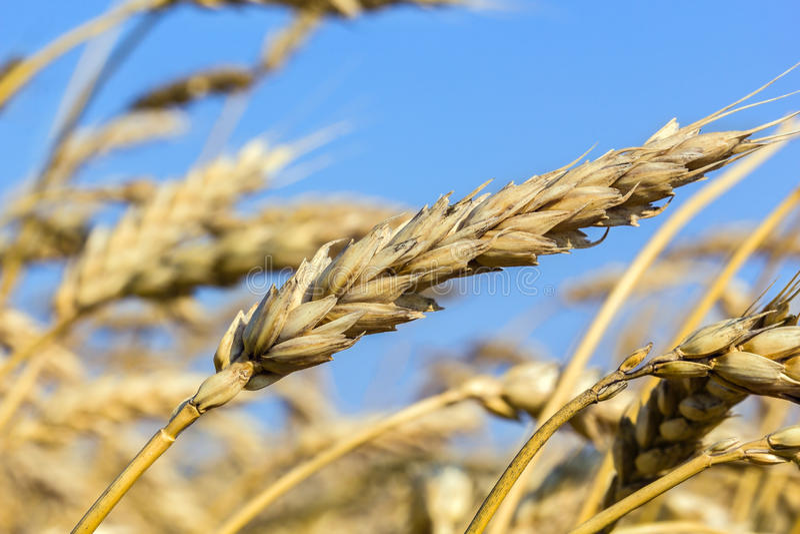 Mogna öron av vete i ett fält, makro royaltyfri foto