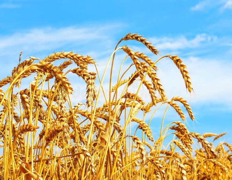 Mogna öron av vete i fält under lantligt åkerbrukt begrepp för skörd arkivbild