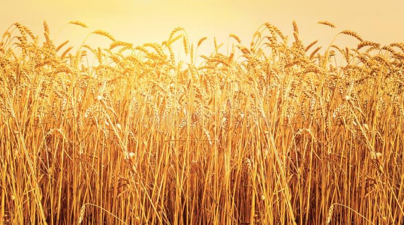 Mogna öron av vete i fält under skördsolnedgång Åkerbrukt sommarlandskap lantlig plats fotografering för bildbyråer