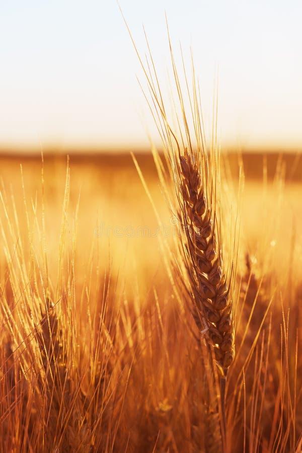 Mogna öron av vete i kultiverat jordbruks- fält arkivbilder
