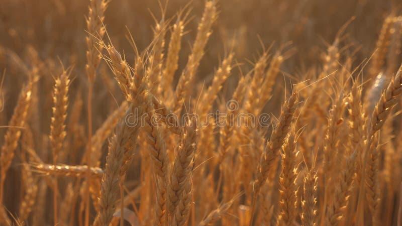 Mogna öron med moget korn svänger vid vinden N?rbild gul veteåker för mogen sädes- skörd i det guld- arkivfoton