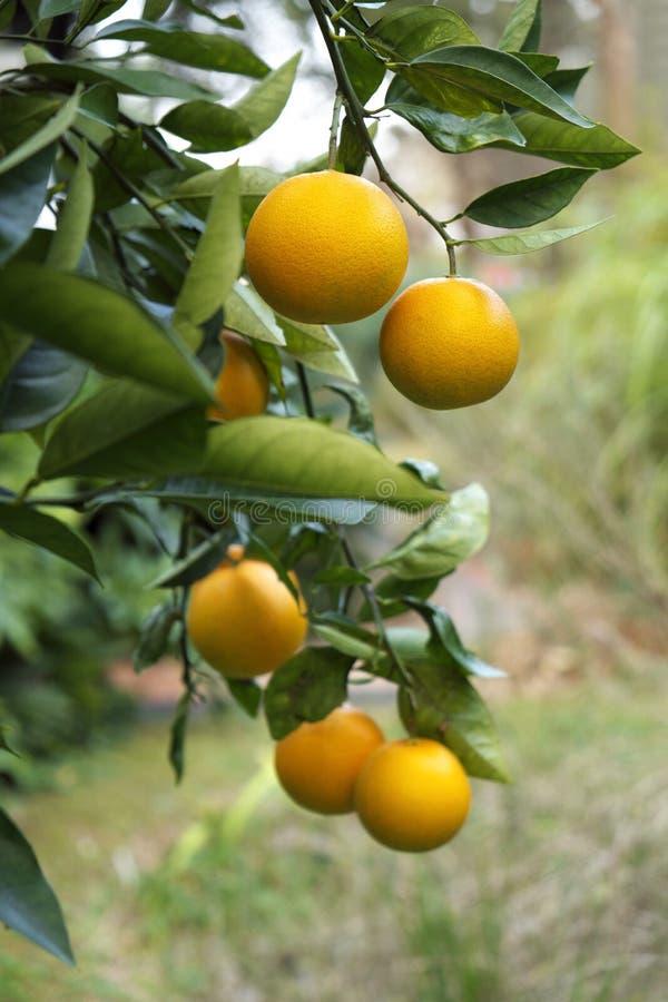 Mogna apelsiner på treen i Florida arkivfoton