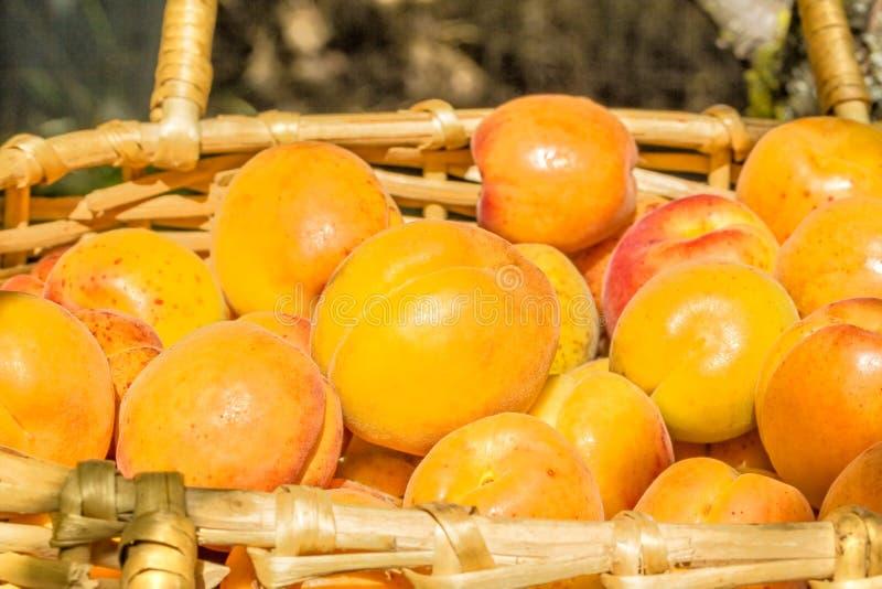 Mogna aprikors i en vide- korg i fruktträdgården fotografering för bildbyråer