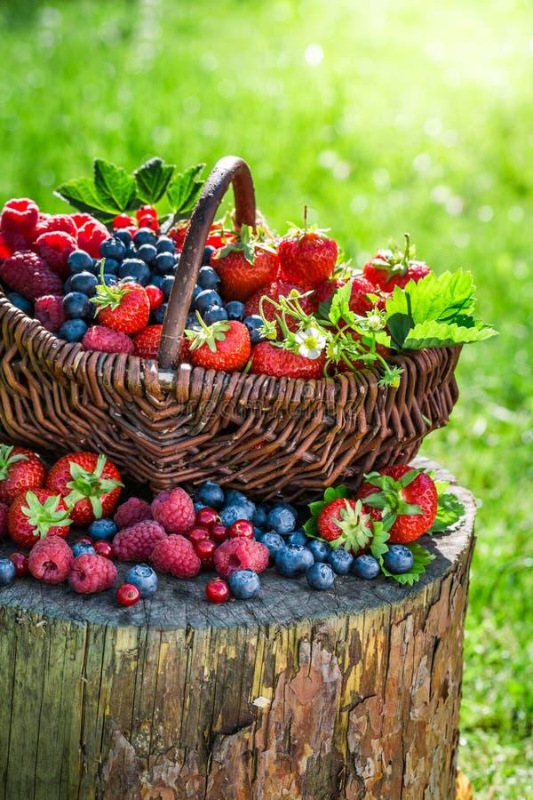 Mogna bärfrukter i korg royaltyfri bild