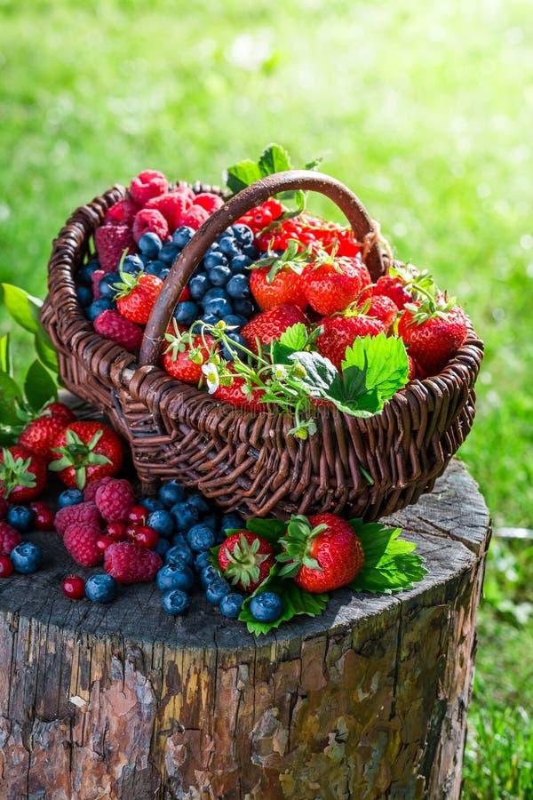 Mogna bärfrukter i solig dag royaltyfria foton