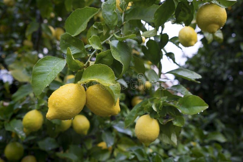 Mogna citroner med droppar av vatten väger på en filial royaltyfria foton