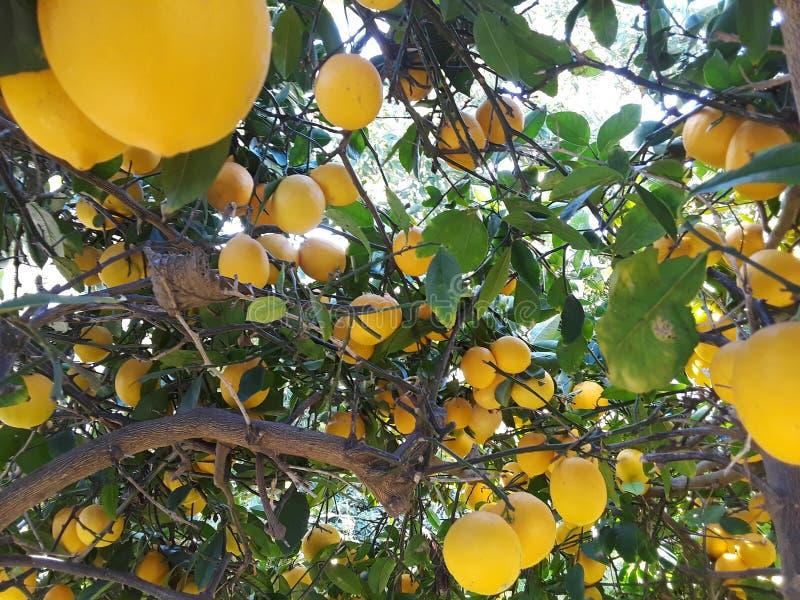 Mogna citroner som hänger på ett träd med solstrålar som skiner till och med sidorna royaltyfria foton