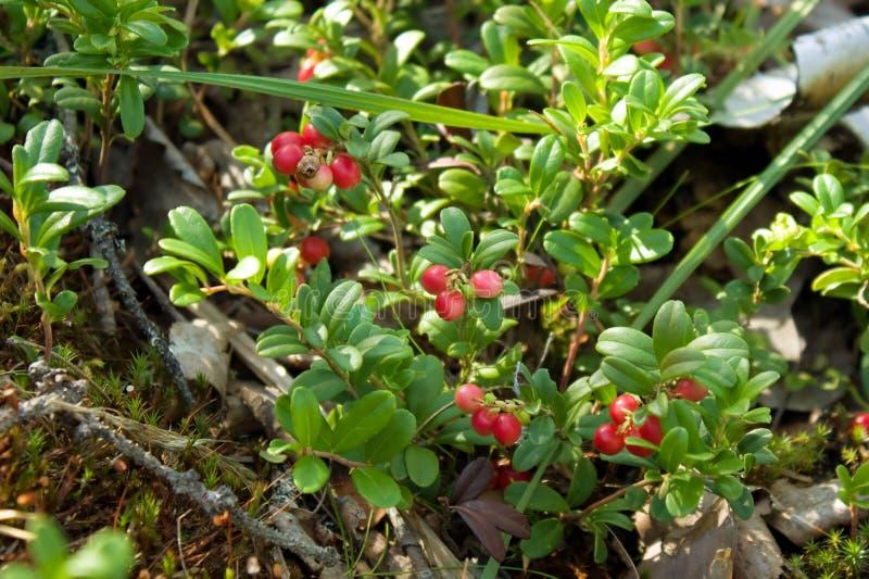 mogna cranberries arkivbild