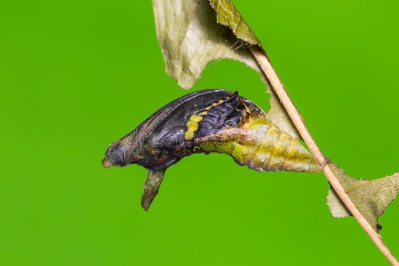 Mogna den satte band Swallowtail puppan arkivfoton