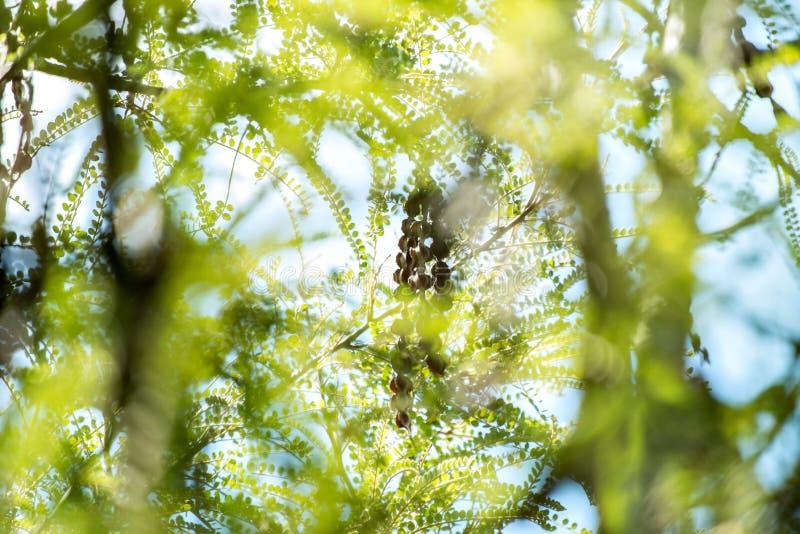 Mogna frö som hänger från ett träd royaltyfria foton