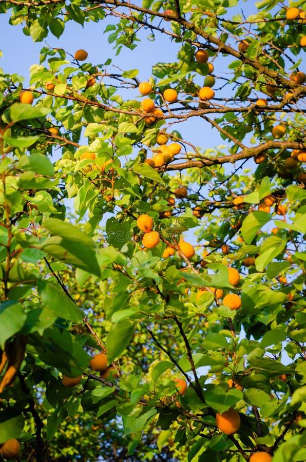 Mogna frukter av aprikors hänger på filialerna Skytte från botten upp mot himlen Vertikalt alternativ för design royaltyfri fotografi
