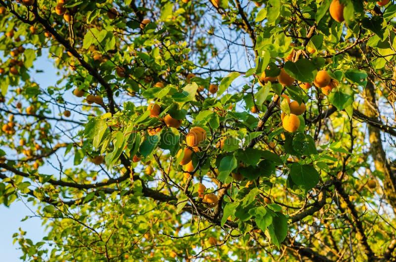 Mogna frukter av aprikors hänger på filialerna Skytte upp från himlen royaltyfri fotografi