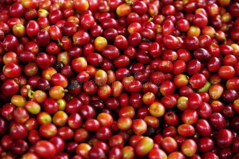 Mogna frukter av coffeträdet Kaffekolonier i Quindio - Buena Vista, Colombia arkivbild
