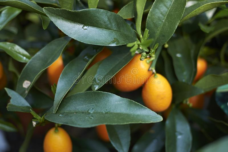 Mogna frukter av Kumquats arkivfoton