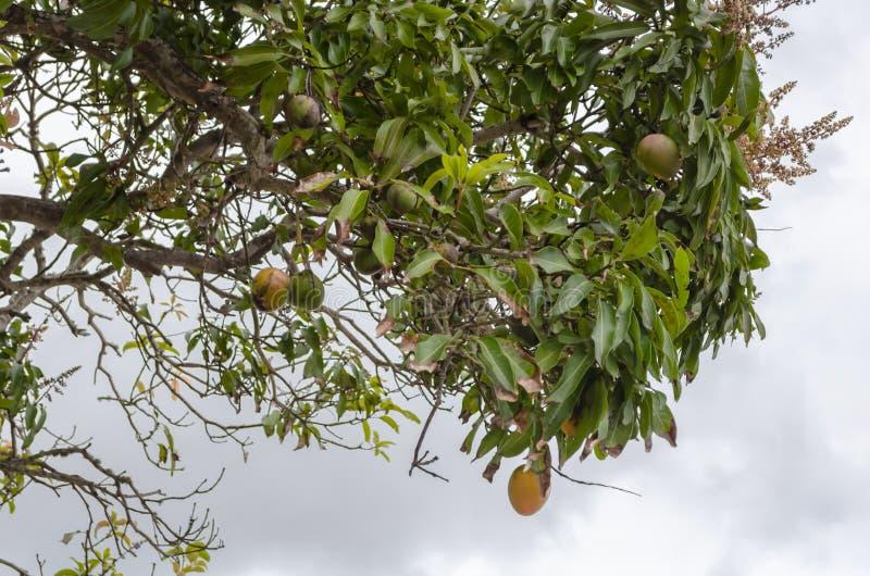 Mogna gemensamma mango på träd royaltyfri fotografi