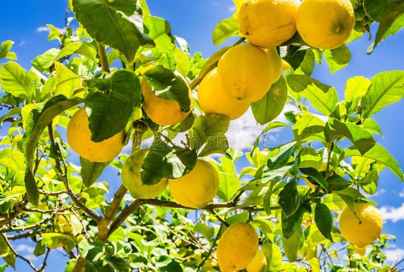 Mogna gula citroner som hänger på träd, med solig blå himmel arkivbilder