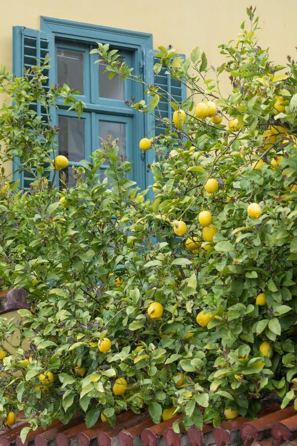Mogna gula citroner, tropiska citrusfrukter som h?nger p? citrontr?d i tr?dg?rdwitnsikt p? hus, och bl?tt f?nster arkivbild