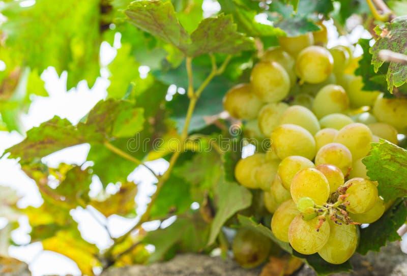 Mogna gula gröna druvor med gröna sidor arkivbilder