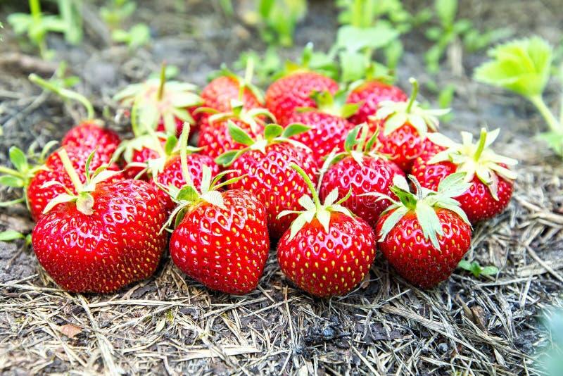 Mogna jordgubbar på jordningen royaltyfri bild