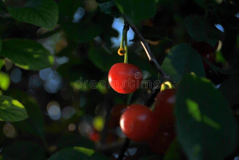 Mogna körsbärsröda bär på en filial i strålarna av inställningssolen arkivfoton