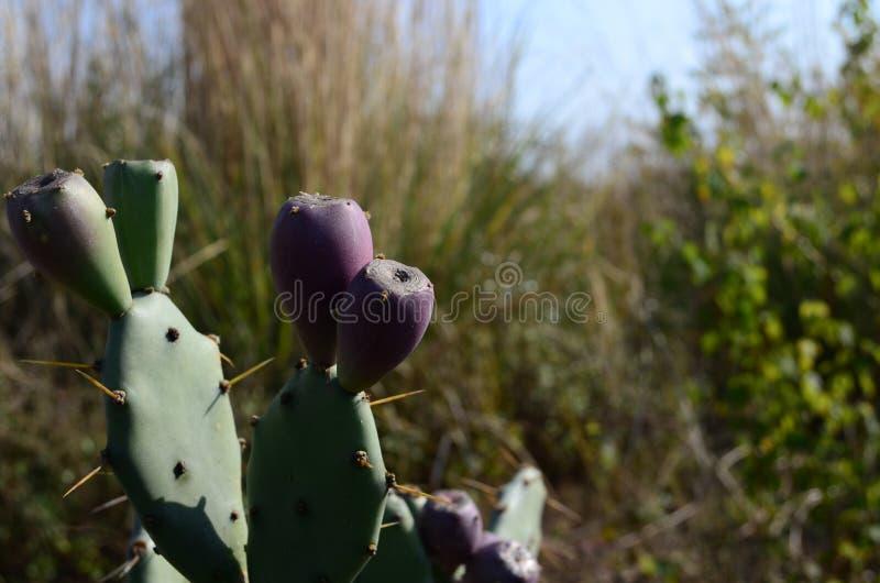 Mogna kaktusfrukter royaltyfria foton