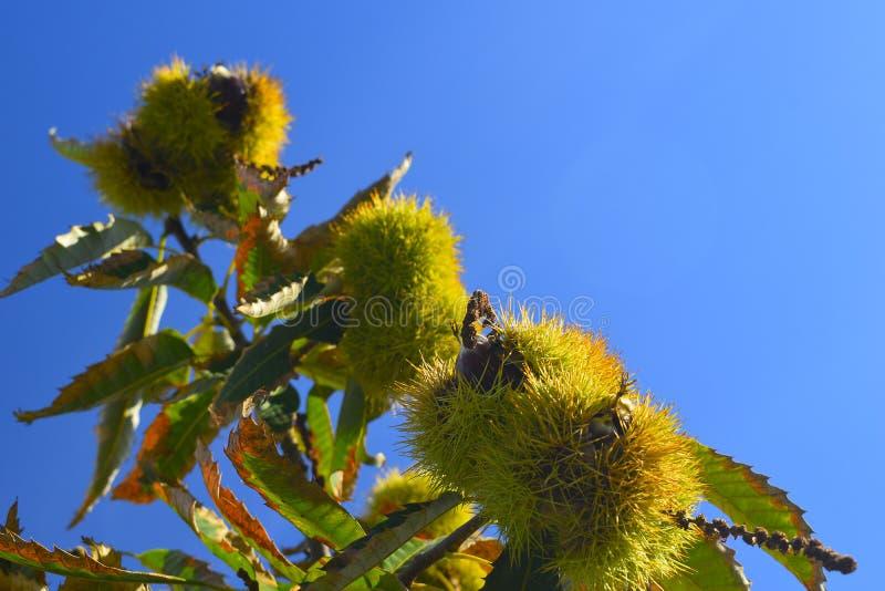 Mogna kastanjer på filialerna av ett kastanjebrunt träd med blå himmel royaltyfri foto