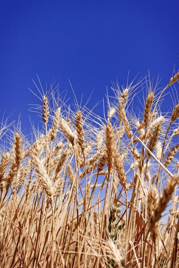 Mogna korn av vete i ett sommarlantgårdfält arkivbild