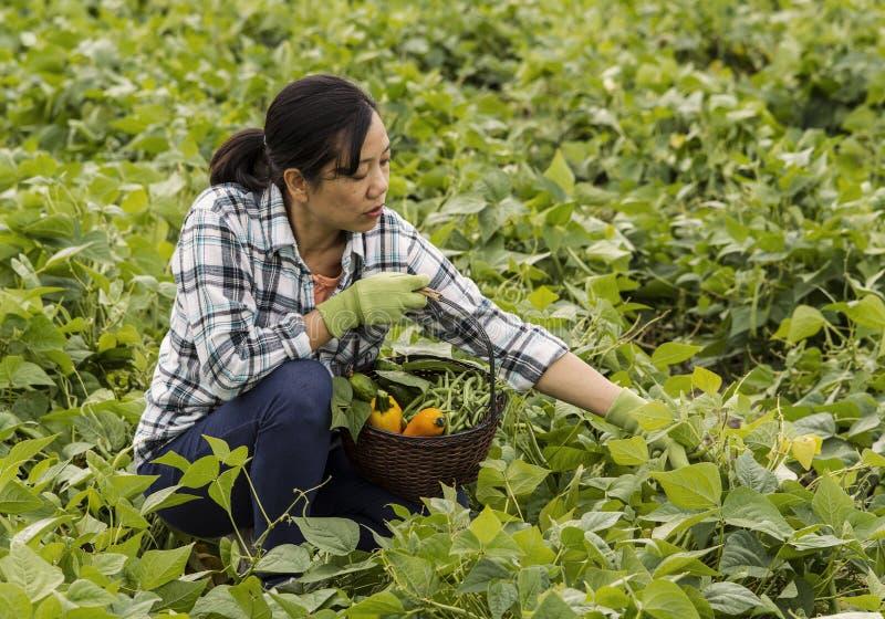 Mogna kvinnor som väljer bönor i fält royaltyfria bilder