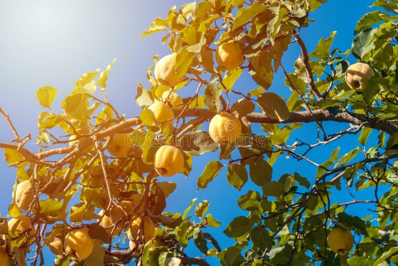 Mogna kvittenfrukter på en frunch i höst royaltyfria bilder