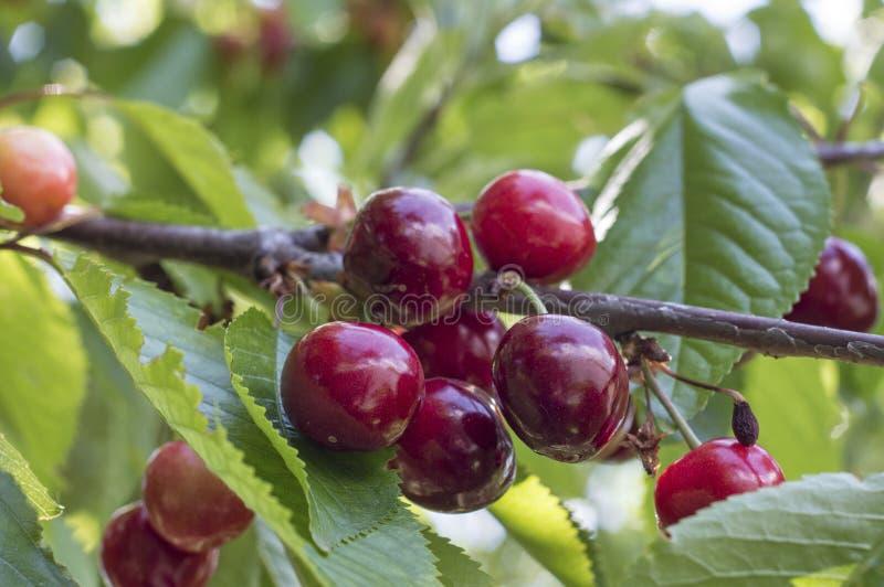 Mogna mörkröda körsbär på frunch för körsbärsrött träd royaltyfria bilder
