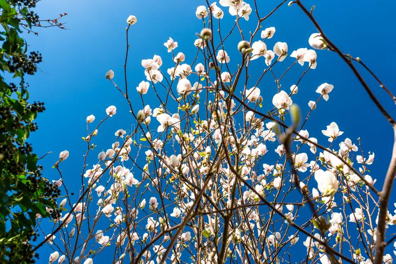 Mogna magnoliablommor på ett träd mot bakgrunden av en blått, vårhimmel arkivbilder