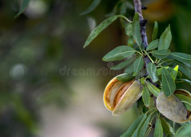 Mogna mandlar som är klara för skörd royaltyfria foton