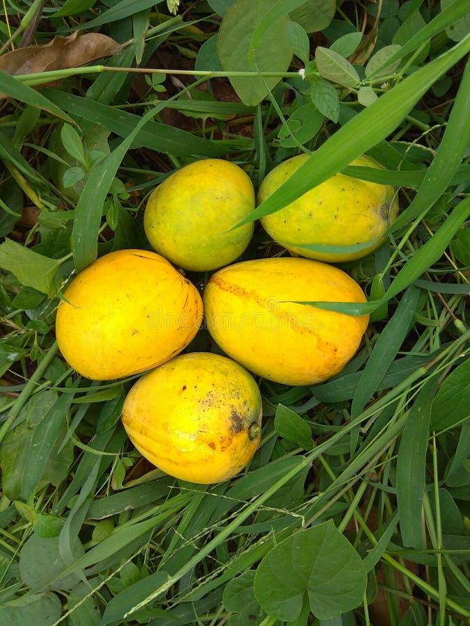 mogna mango arkivbilder