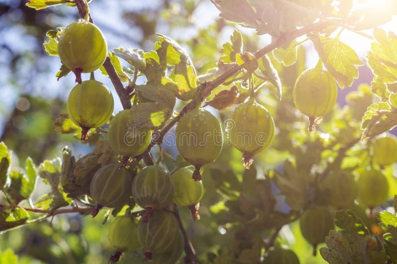 Mogna nya gröna krusbär i trädgården med solljus Växande organisk bärnärbild med droppar av vatten efter regn på a arkivbild