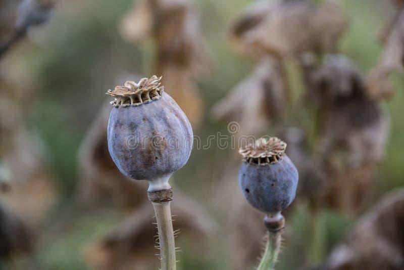 Mogna opiumvallmofröhuvud, papaver - somniferum, orientaliska vallmo royaltyfri foto