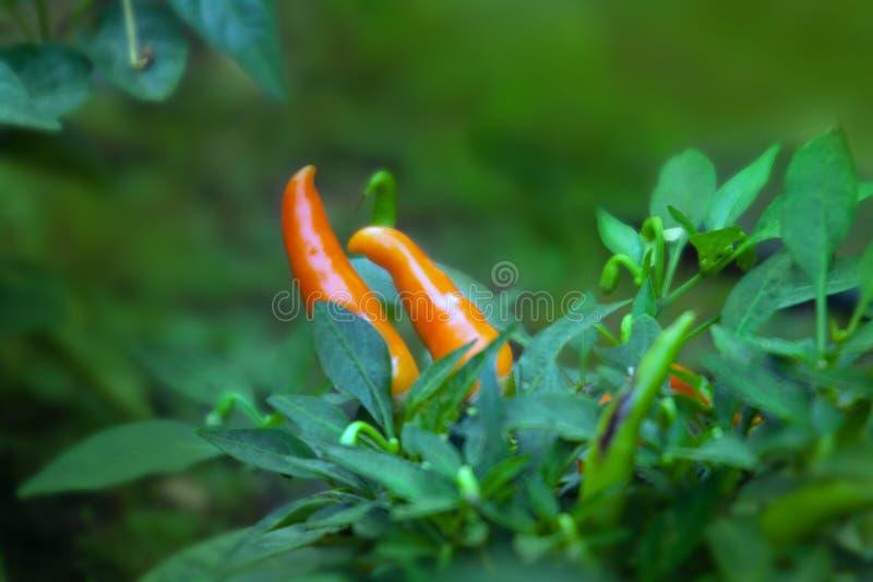 Mogna orange peppar för varm chili på träd royaltyfri bild