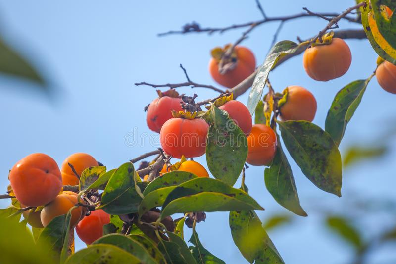 Mogna orange persimoner på persimonträdet, frukt arkivbild
