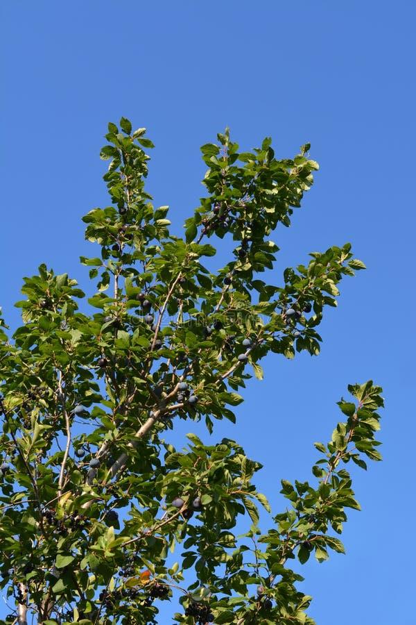Mogna plommoner på trädfilialer i fruktträdgård Fruktträdgård i sommar arkivfoto