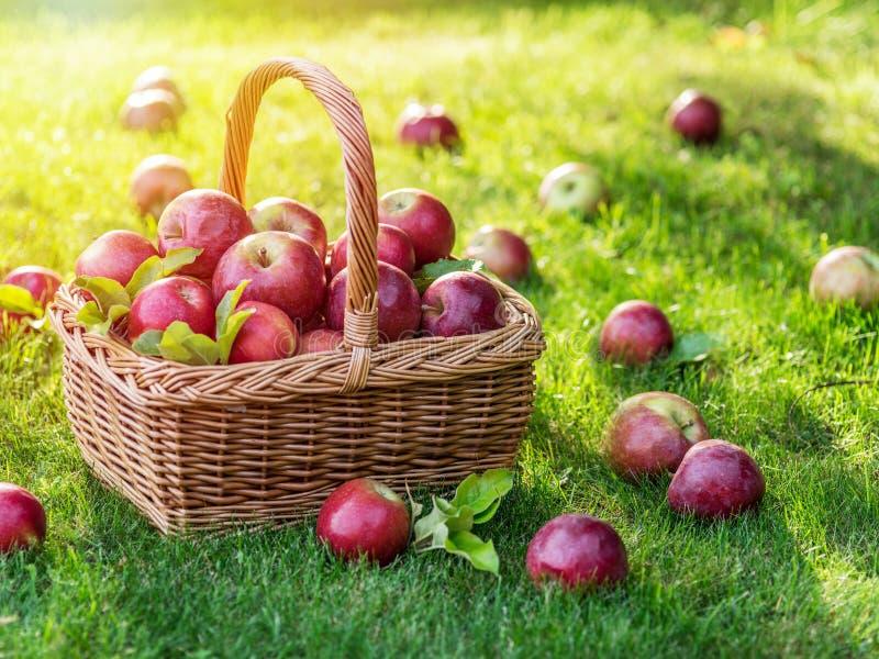 Mogna röda äpplen för Apple skörd i korgen på det gröna gräset arkivfoto